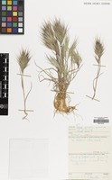 Filed as Bromus rubens L. [family GRAMINEAE]