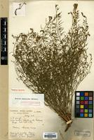 Holotype of Thesium ramosoides Hendrych [family SANTALACEAE]