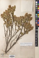 Filed as Baccharis patagonica Hook. & Arn. [family COMPOSITAE]