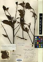 Holotype of Loranthus scoriarum W.W.Sm. [family LORANTHACEAE]