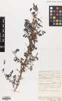 Filed as Indigofera arrecta Hochst. ex A.Rich. [family LEGUMINOSAE]