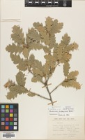Filed as Quercus pubescens Willd. [family FAGACEAE]