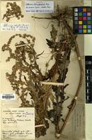 Holotype of Artemisia strongylocephala Pamp. var. sinensis Pamp. [family COMPOSITAE]