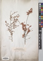 Filed as Atraphaxis spinosa L. [family POLYGONACEAE]