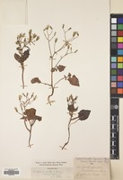 Filed as Lactuca cyprica (Rech.f.) N.Kilian & Greuter [family COMPOSITAE]