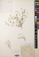 Filed as Arenaria pamphylica Boiss. & Heldr. subsp. kyrenica McNeill [family CARYOPHYLLACEAE]