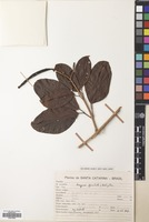 Filed as Paragonia pyramidata (Rich.) Bureau [family BIGNONIACEAE]