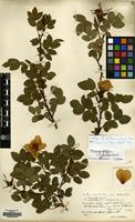 Isotype of Rosa borealis Wolley-Dod [family ROSACEAE]