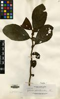 Isotype of Cyrtandra elatostemoides Elmer [family GESNERIACEAE]