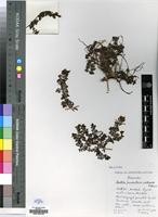 Holotype of Jamesbrittenia multisecta Hilliard [family SCROPHULARIACEAE]