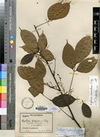 Isotype of Agelaea fragrans Gilg [family CONNARACEAE]