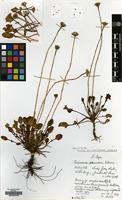 Holotype of Cineraria albomontana Hilliard [family COMPOSITAE]