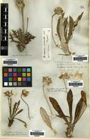 Filed as Trichocline sinuata (D.Don) Cabrera [family COMPOSITAE]