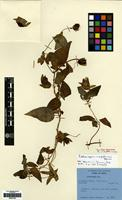 Isotype of Codonopsis nepalensis Hara [family CAMPANULACEAE]
