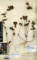 Isotype of Mimulus subsecundus A.Gray var. constrictus Grant [family PHRYMACEAE]