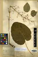 Isotype of Clerodendrum subscaposum Hemsl. [family LABIATAE]