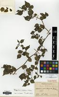 Syntype of Physalis fauriei H. Lev. [family SOLANACEAE]