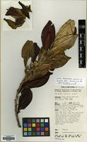 Isotype of Archboldiodendron calosericeum Kobuski ssp. kaindiensis W.R.Barker [family PENTAPHYLACACEAE]