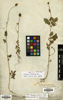 Filed as Bidens pilosa L. var. alausensis (Kunth) Sherff [family COMPOSITAE]