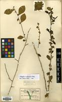 Isotype of Hybanthus yucatanensis Millsp. [family VIOLACEAE]