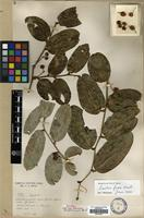 Isotype of Smilax loupouensis H.Lev. [family SMILACACEAE]