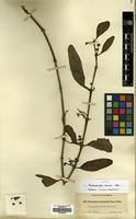 Isotype of Phoradendron helleri Trel. [family SANTALACEAE]