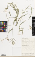 Filed as Brachiaria reptans (L.) C.A.Gardner & C.E.Hubb. [family GRAMINEAE]