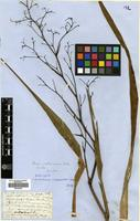 Type of Dianella sandwicensis Hook. & Arn. [family HEMEROCALLIDACEAE]