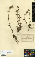 Isotype of Tradescantia brachyphylla Greenm. [family COMMELINACEAE]