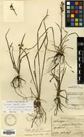 Type of Ophiopogon fauriei H.Lév. & Vaniot [family RUSCACEAE]