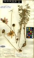 Isotype of Dahlia pubescens S. Watson [family COMPOSITAE]