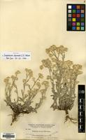 Isotype of Gnaphalium thermale E.E. Nelson [family COMPOSITAE]