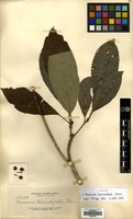 Isotype of Baccaurea terminalifolia Elmer [family PHYLLANTHACEAE]