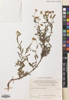 Filed as Pulicaria dysenterica (L.) Gaertn. [family COMPOSITAE]