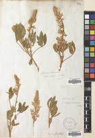 Filed as Lupinus multiflorus Desr. [family LEGUMINOSAE]