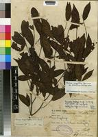 Isotype of Rinorea angustifolia (Thouars) Baill. ssp. ardisiiflora (oliv.) Grey-Wilson [family VIOLACEAE]