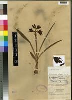 Isotype of Eulophia monticola Schltr. [family ORCHIDACEAE]