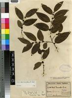 Type of Diospyros abyssinica (Hiern) F.White [family EBENACEAE]