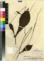 Holotype of Plumbago glandulicaulis Wilmot-Dear [family PLUMBAGINACEAE]