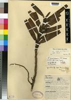 Isotype of Jumellea usambarensis J.J.Wood [family ORCHIDACEAE]
