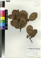 Isotype of Mimusops lohindri Aubr. [family SAPOTACEAE]