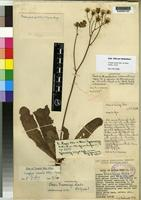 Isotype of Crepis newii Oliv. & Hiern var. greenwayi [family COMPOSITAE]