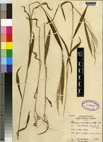 Isotype of Panicum microlemma [family GRAMINEAE]