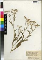 Type of Vernonia sp. c [family COMPOSITAE]
