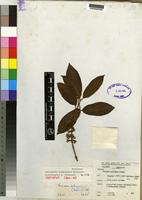 Isotype of Sericanthe burundensis Robbr. [family RUBIACEAE]