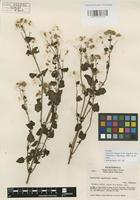 Isotype of Ageratina helenae R.M. King & H. Rob. [family ASTERACEAE]