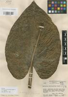 Holotype of Anthurium chlorocardium Standl. & L.O. Williams [family ARACEAE]