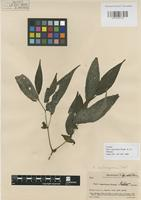 Isotype of Piper segoviarum Standl. & Williams [family PIPERACEAE]