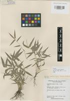 Isotype of Lithachne humilis Soderstrom [family GRAMINEAE]