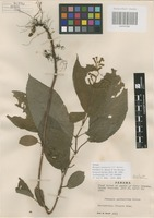 Isotype of Monopyle panamensis C. V. Morton [family GESNERIACEAE]